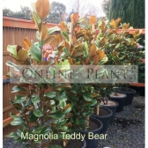 Magnolia Teddy bear Melbourne