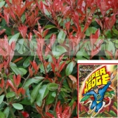 Photinia Robusta for Sale