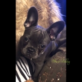 French Bulldog Puppies for Sale in Australia