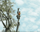 Lopping Trees Services Brisbane
