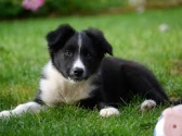 Border Collie Puppies available for sale